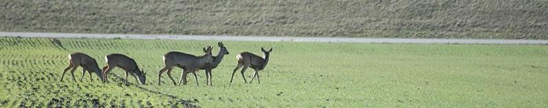800px-2010-02-27_(38)_Reh,_Roe_deer,_Capreolus_capreolus