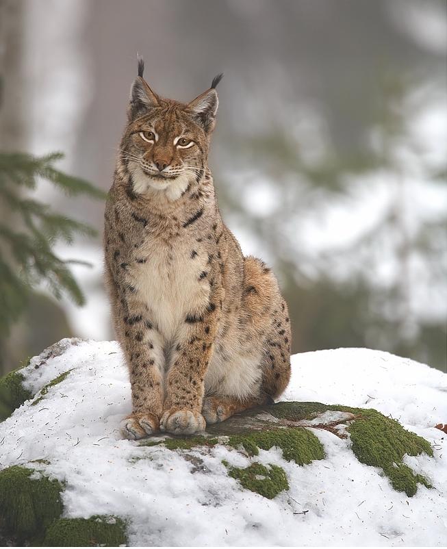 Lynx_lynx_2_(Martin_Mecnarowski)