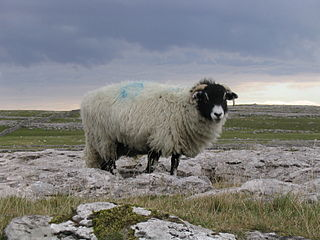 320px-yorkshire_dales_sheep