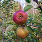 Apples at Monimail Tower, Fife - photo by Tony Carter