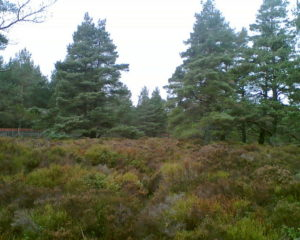 native_scots_pine_-_geograph-org-uk_-_340006