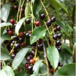 Ripe black cherries (Prunus serotina) - StarTree poster, Verena Katharina Becker